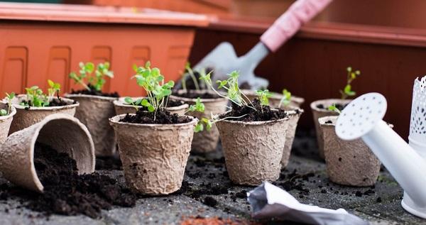 Особенности выращивания рассады помидоров