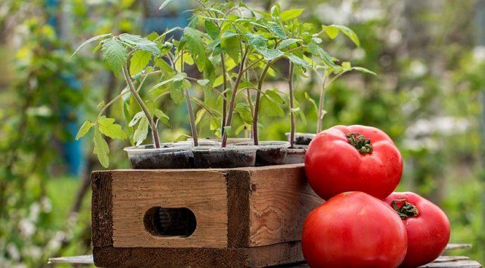 Сроки высадки в теплицу рассады томатов