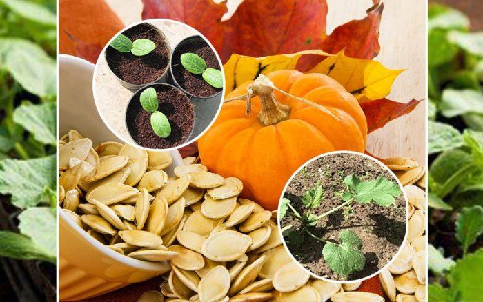 Самые благоприятные дни для посева тыквы семенами в Подмосковье на 2021 год