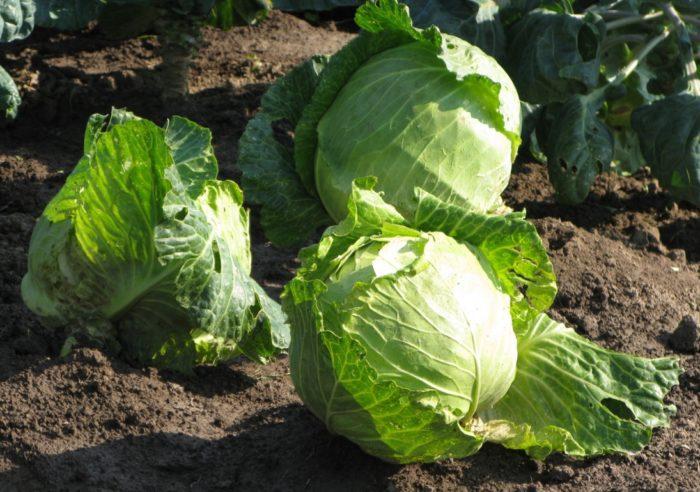 Благоприятные дни для уборки капусты на хранение в 2021 году и советы по хранению