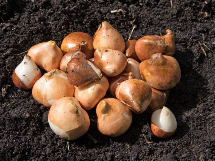 Благоприятные дни для выкапывания луковиц тюльпанов в 2021 году