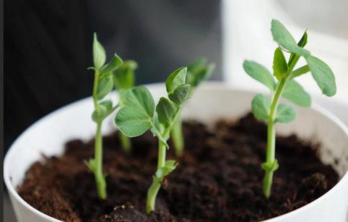 Благоприятные и неблагоприятные дни для посадки гороха семенами в открытый грунт по луне на 2021 год
