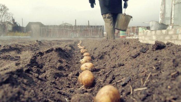 Благоприятные посадочные дни по лунному календарю для картофеля для Подмосковья на 2021 год