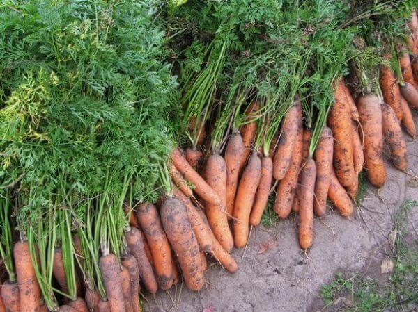 Как влияет сорт на срок сбора урожая