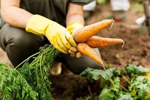 Благоприятные дни для сбора и хранения урожая моркови в 2021 году по луне