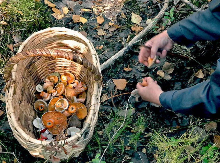 грибы в смоленской области 2021
