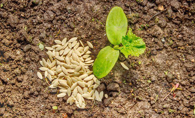 особенности посадки огурцов в грунт