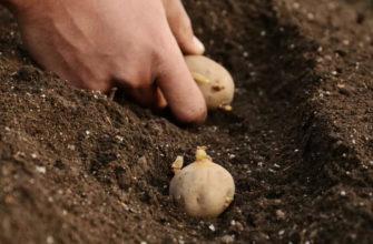Когда сажать картофель по лунному календарю в мае 2021 год