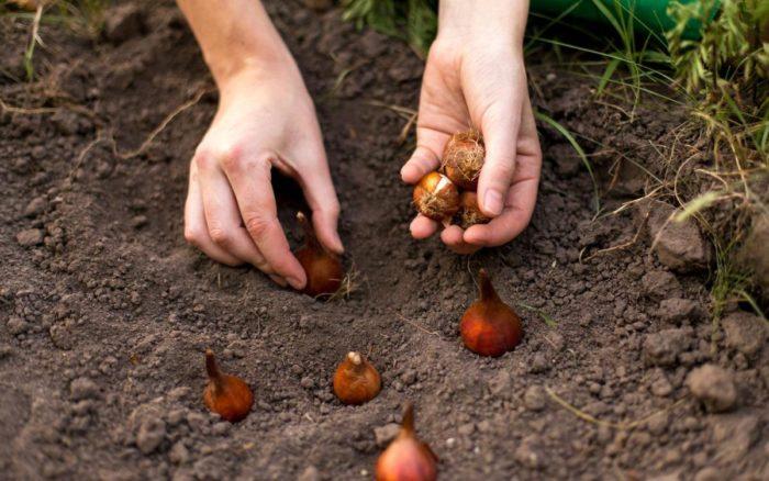Когда садить тюльпаны осенью по лунному календарю для Подмосковья 2021 года