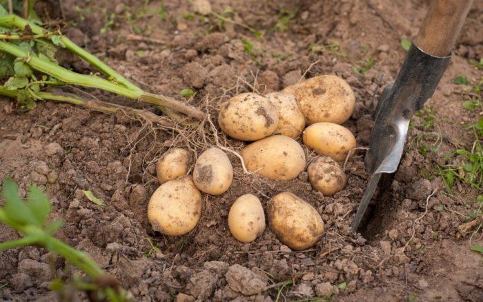 Урожай картофель