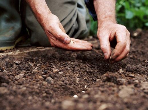 Посев огурцов в открытую почву