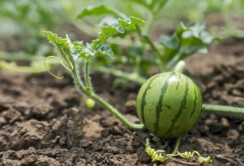когда надо сажать семена арбуза на рассаду