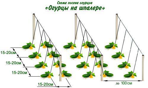 схема посадки огурцов в открытый грунт семенами