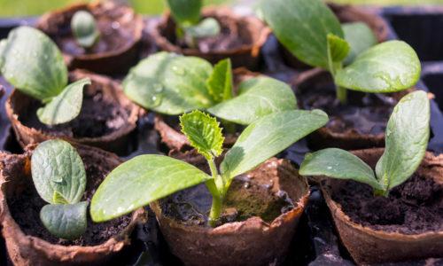 Советы по выращиванию кабачков