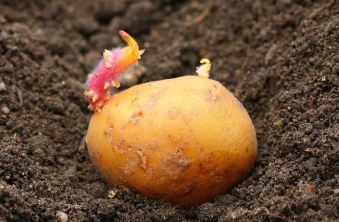 Сроки посадки картофеля по лунному календарю в 2021 году