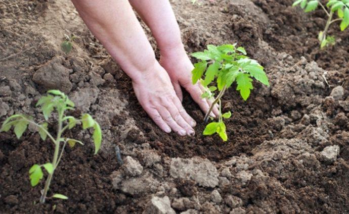 Посадочные дни для томатов в марте по лунному календарю 2021 года