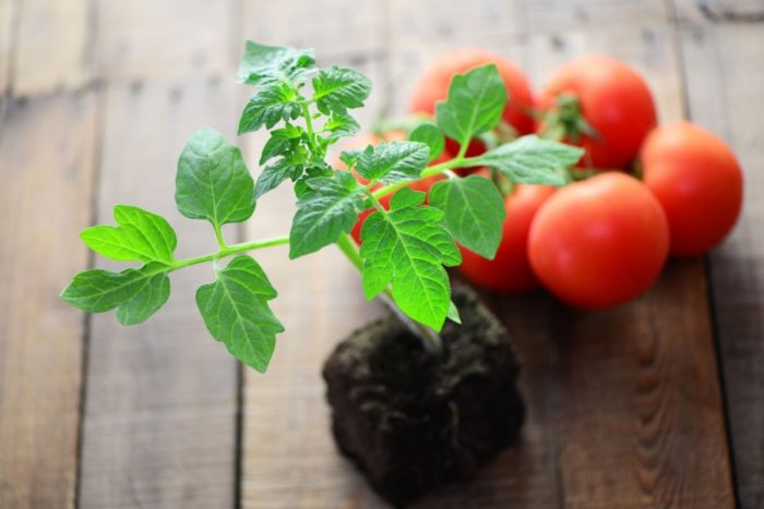 Сроки пикировки помидоров в апреле по лунному календарю 2021 года