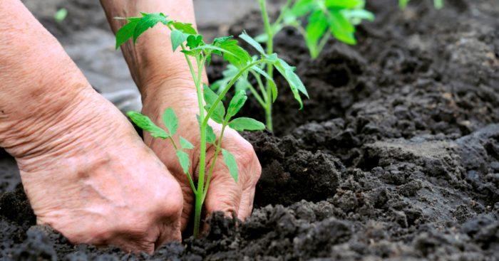 Сроки посадки помидоров на рассаду в 2021 году