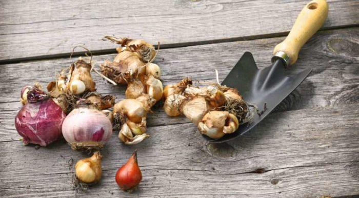 Способы хранения луковиц