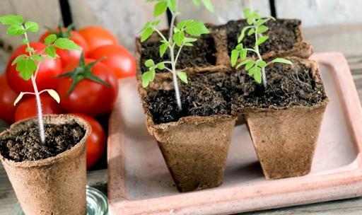 Сроки посадки помидоров на рассаду для теплицы в 2021 году