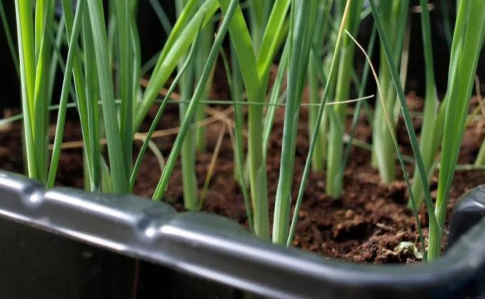 Самые благоприятные дни для посадки рассады лука в 2021 году