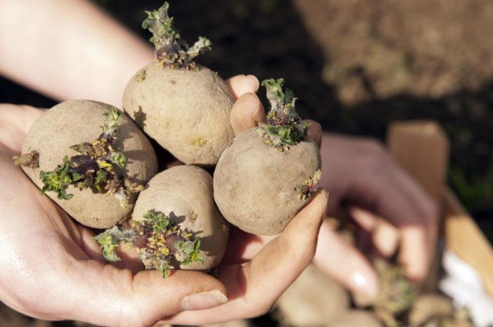 Работа с картофелем