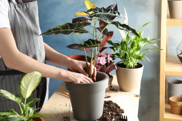 Пересадка домашних цветов