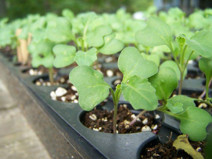 Самые благоприятные дни для посева брокколи на рассаду в 2021 году