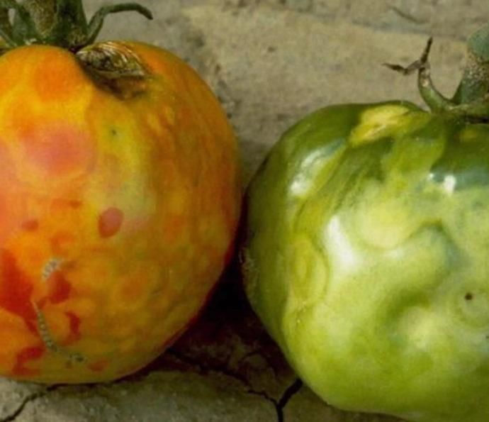 Какие бывают паразиты и болезни помидоров в теплице: профилактические меры