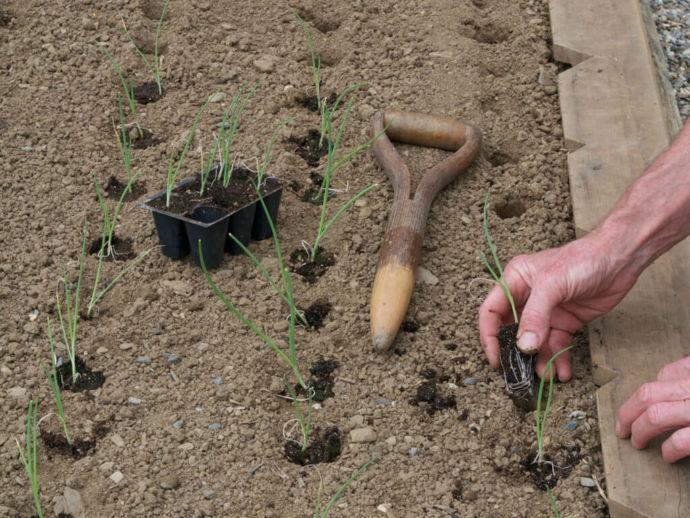 Высадка рассады лука в открытый грунт