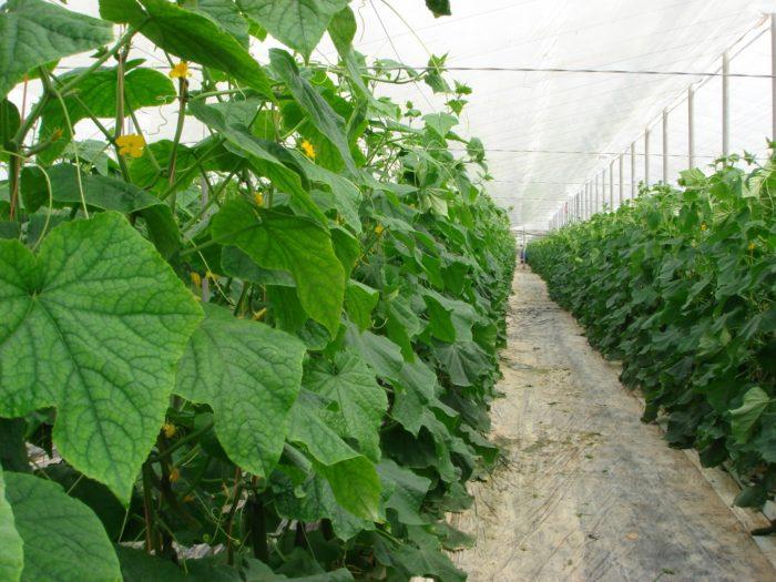 Какие огурцы посадить в теплице в Подмосковье в 2021 году