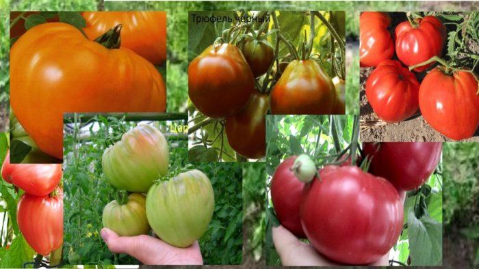 томаты сибирской селекции