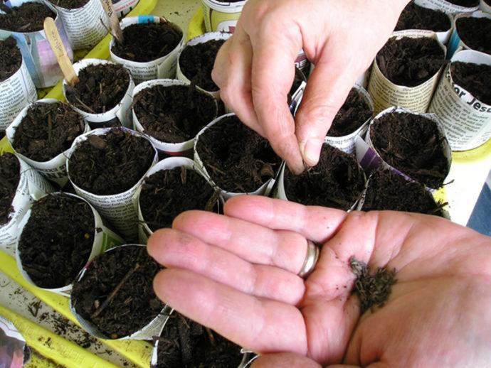 Самые благоприятные дни для посадки цветной капусты в 2021 году