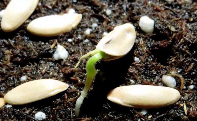 прорастание семян дыни