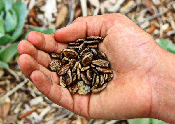 семена арбуза в руках