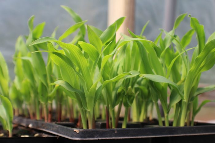 Сроки посадки для кукурузы по лунному календарю в 2021 году