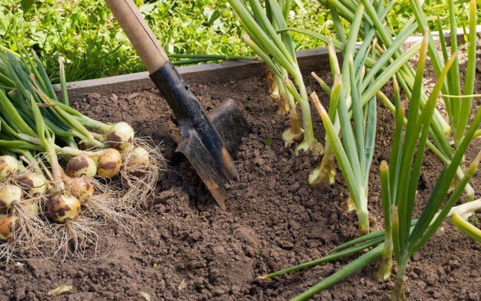 Когда копать лук