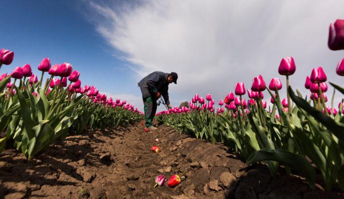 Благоприятные дни для посадки тюльпанов в 2021 году