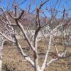 Как обрезать абрикос весной и когда самые благоприятные дни в 2021 году