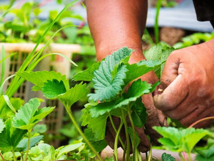 Чем и как обработать клубнику весной от болезней и вредителей ранней весной