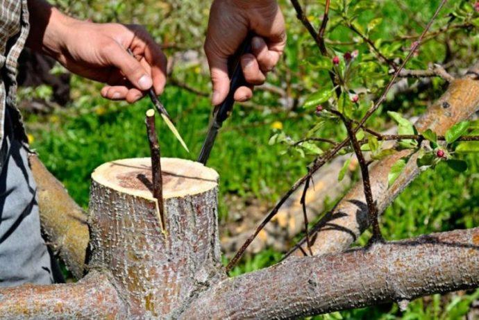 Когда и как лучше привить яблоню весной в 2021 году