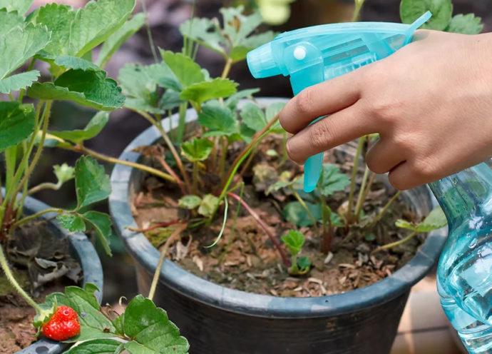 Чем и как обработать клубнику весной от болезней и вредителей