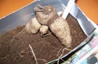 Когда нужно вытаскивать георгины из погреба на проращивание