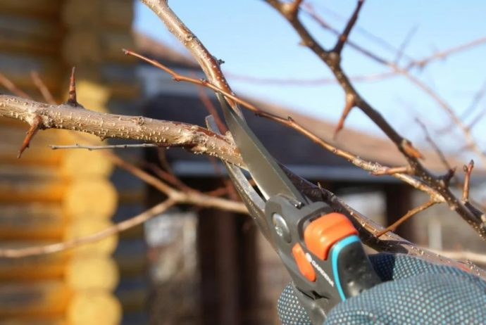 Когда и как правильно обрезать грушу весной в 2021 году