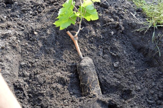 Сроки посадки винограда в разных регионах России