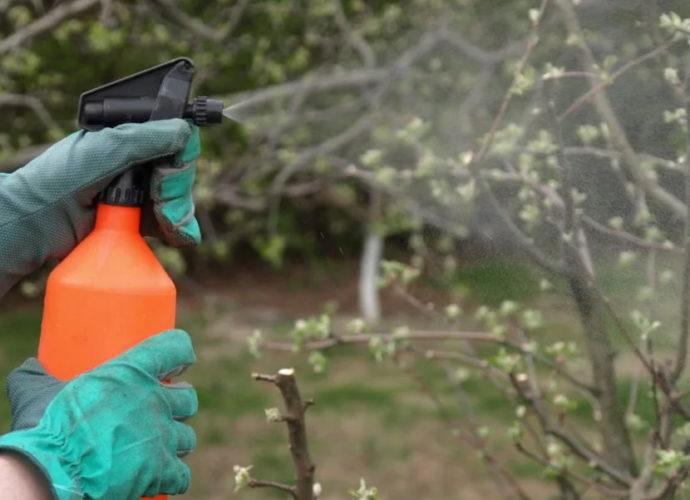 Весенняя обработка вишни от болезней и вредителей