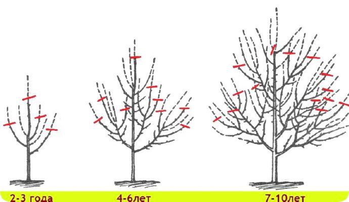 Как правильно и когда обрезать яблоню весной