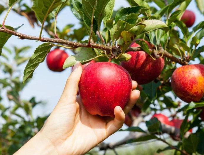 Когда и как правильно собирать яблоки по лунному календарю в 2021 году