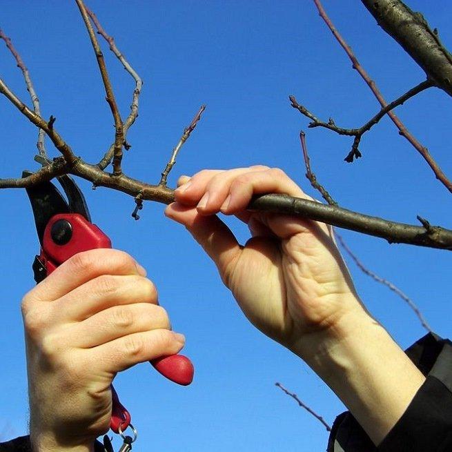 Когда проводить санитарную обрезку вишни весной в 2021 году