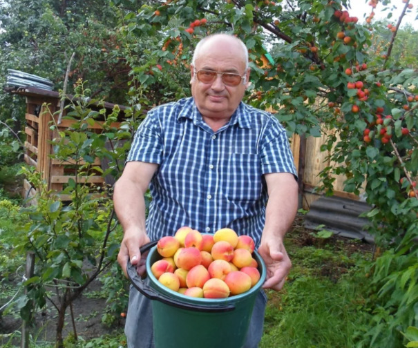 Когда и как правильно собирать абрикосы